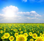 Yellow field of sunflowers Stock Photo