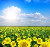Yellow field of sunflowers Stock Photo