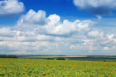 Yellow field of sunflowers and bright blue sky Stock Image