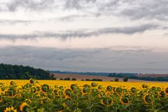 Yellow field of sunflowers at dawn with spectacular sky. Yellow field of sunflowers at dawn with spectacular sky Royalty Free Stock Photos