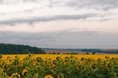 Yellow field of sunflowers at dawn with spectacular sky. Yellow field of sunflowers at dawn with spectacular sky Stock Photos