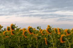 Yellow field of sunflowers at dawn with spectacular sky. Yellow field of sunflowers at dawn with spectacular sky Royalty Free Stock Image
