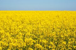 Yellow field to horizon Stock Photos