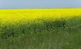 Yellow field to horizon Royalty Free Stock Photography