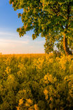 Yellow field with a tree at golden sunset Stock Image