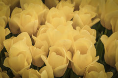 Yellow. A field of yellow tulips in pastel color Stock Photo
