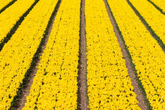 Yellow field of tulips Royalty Free Stock Photography