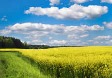 Yellow field under blue sky. Yellow flowers of rape in the field and a green grass on a meadow Royalty Free Stock Image