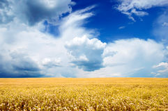 Yellow Field Under Bright Blue Sky Royalty Free Stock Image