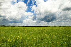Yellow Field under the Clouds Stock Image