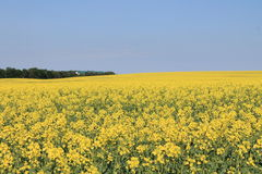 Yellow field. On the way to Colingwood, I found this beautiful field full of flowers Stock Photo