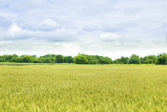 Yellow field of wheat. With green trees Stock Images