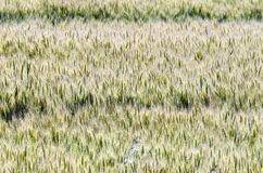 Yellow field of wheat Royalty Free Stock Photography
