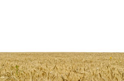 The yellow field of wheat Stock Photography