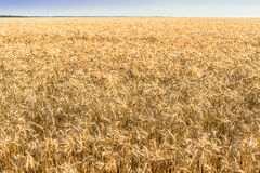 Yellow field of wheat and blue sky. Stock Photography
