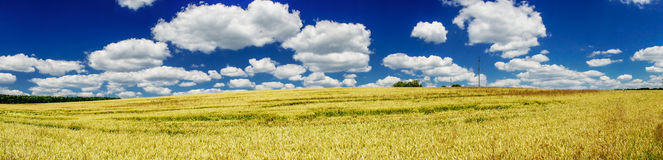 Yellow field of wheat and blue sky. Royalty Free Stock Images