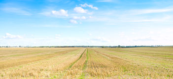 Yellow field of wheat cuted under midday sun. Stock Photography