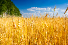 Yellow field of wheat near green forest Stock Photo