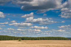Yellow field of wheat near green forest Royalty Free Stock Photography