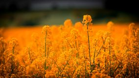 Yellow, Field, Wildflower, Rapeseed Royalty Free Stock Photography