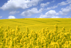 Free Yellow Field With Oil Seed Rape Royalty Free Stock Photo - 9345795