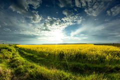 Yellow field. A wonderful spring sunset, near a field of cozla ,Timis county, Romania Royalty Free Stock Image