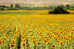 Yellow fields. Sunflower fields in Turkey countryside Royalty Free Stock Image