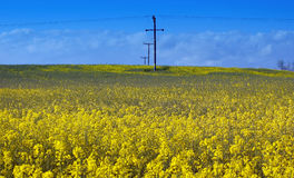 Yellow Fields. Seed oil field against a blue sky, scotland, may 2005 stock photos