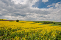 Yellow Fields Stock Image