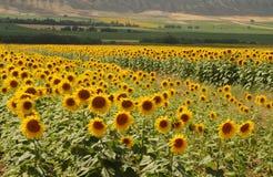 Yellow Fields. Sun flower fields in the turkish countryside Stock Photo