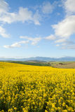 Yellow fields of canola flowers with mountain range in backgroun Stock Photo