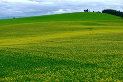 Yellow fields of canola or rape plants in full bloom. stock photography