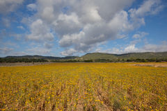 Yellow fields for ever Royalty Free Stock Photos