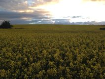 Yellow fields Royalty Free Stock Photography