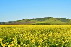 Yellow fields near the mountains royalty free stock image