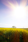 Yellow fields of oilseed with sun rays Stock Image