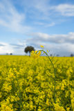Yellow fields Stock Image