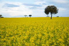 Yellow fields Royalty Free Stock Images