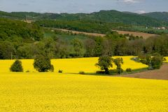 Yellow fields of rape Royalty Free Stock Photo