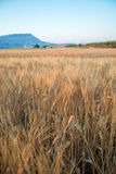 Yellow fields with ripe hard wheat, grano duro, Sicily, Italy Royalty Free Stock Images