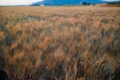 Yellow fields with ripe hard wheat, grano duro, Sicily, Italy Royalty Free Stock Photo