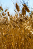 Yellow fields with ripe hard wheat, grano duro, Sicily, Italy Royalty Free Stock Photography