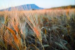 Yellow fields with ripe hard wheat, grano duro, Sicily, Italy Stock Image