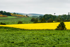 Yellow fields of Scotland. Bright yellow field of rapeseed with dark yellow gorse in the background Royalty Free Stock Photos