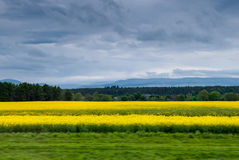 Yellow fields of Scotland Stock Photos