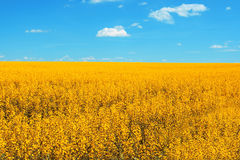 Yellow fields in summer Stock Image
