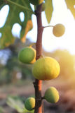 Yellow fig fruits ripen. Yellow fig fruits ripen on its tree Stock Photography