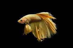Yellow fighting fish Stock Photography