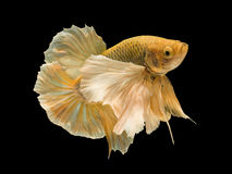 Yellow fighting fish on black background with clipping path Stock Photography