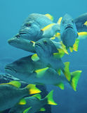 Yellow Fin Blue Fish. Bright yellow fins of these fish contrast with the blue of their scales and water Royalty Free Stock Photo